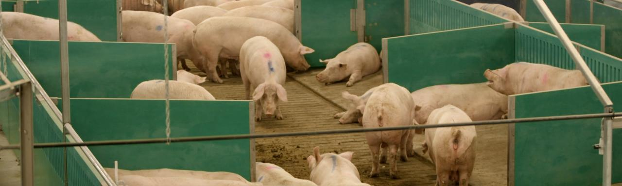 Sows in Advanced Open Sow Housing.