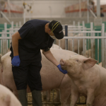 Man interacting with pig in Open Sow Housing system