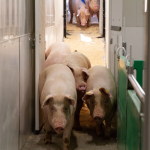 Pigs walking through entryway to trailer
